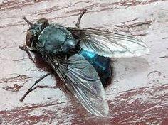 Image result for calliphora vomitoria