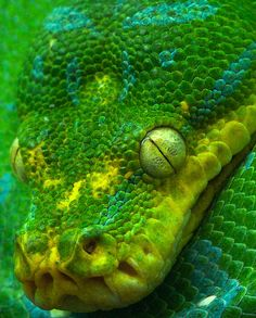 Green Tree Python // photo by robferblue