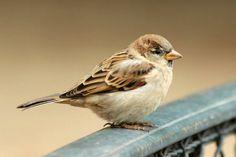 moineau domestique house sparrows  Paris jardin des tuilleris oiseaux bird plume