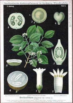 Botanical - Educational Plate - Black - Strychnos nux vomica L.