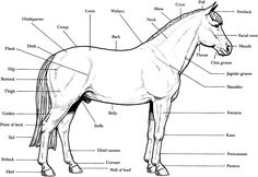 Horse Breeds Coloring Pages | Anatomy - B&W labeled printable