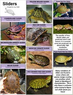 Are you thinking of buying a tortoise to keep? Tortoise pet care takes some planning if you want to be. Yellow Bellied Slider, Red Eared Slider Turtle, Turtle Care, Pet Turtle, Aquatic Turtles, Water Turtles, Turtle Aquarium, Turtle Habitat, Animals