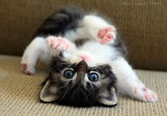 Look how cute kittens. 816 likes. The more you talk to your cat, the more he or she will meow back at you. Cats can also differentiate the tone in your. Cute Cats And Kittens, Baby Cats, I Love Cats, Kittens Cutest, Baby Kitty, Kitty Kitty, Hello Kitty, Kittens Playing, Cutest Pets