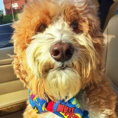 Golden Doodles love bow ties. Barky Bows - Dog Bows. barkybow.com