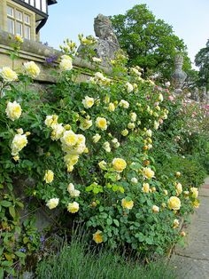 'The Pilgrim' climbing rose with a shorter yellow variety 'Charlotte' planted beneath