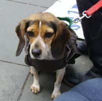 Misty: small female beagle in NYC looking for a home