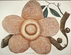 Rafflesia flower produces the largest individual flower of any species in the world