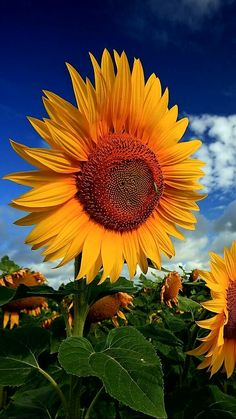 Sunflower Garden, Sunflower Art, Sunflower Fields, Yellow Sunflower, Growing Sunflowers, Sunflowers And Daisies, Tumblr Fall Pictures, Flowers For Everyone, Sunflower Photography