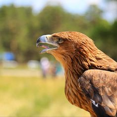 Golden Eagle in a recreation area Burabai. by Maxim Rozhin on 500px