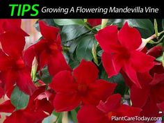 Mandevillas makes a great colorful addition to a backyard patio! All of the varieties grown are very showy and flower readily especially during the warmer months. Read on for Mandevilla care details: Mandevilla has grow in popularity over the past few years along with some of the other spring flowering vines. The name Mandevilla was …