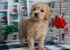 Buy Cheap Goldendoodle Puppies for Sale near me Goldendoodle Puppy For Sale, Labradoodle, Puppies For Sale, Buy Cheap, Cute Dogs, Cute Animals, Stuff To Buy, Doodles, Christmas