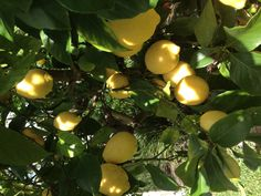 Our lemon tree at home.