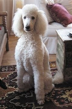 Another Standard poodle dog sister?