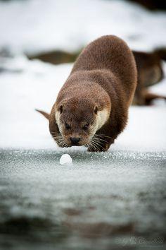 Otter hunts a snowball - May 16, 2015