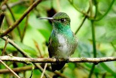 colibri de capucha azul