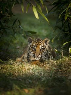 Sumatran Tiger Cub. May the cub live a long life. How ANYONE could capture and kill such a wonderful animal is absolutely beyond me.