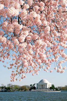 Cherry blossoms and Thomas Jefferson Memorial. Washington, DC.