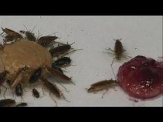 Quand les cafards développent une aversion au sucre pour survivre - science