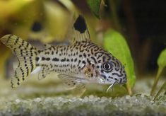 Learn about the most popular species of small Corydoras species. We carry beautiful cory catfish species. The armored catfish are peaceful and fantastic aquarium tank mates for a community tank. Tropical Freshwater Fish, Freshwater Aquarium, Cory Catfish, A4 Poster, Poster Prints, Art Print, Aquarium Setup, Aquarium Design, Fish Breeding