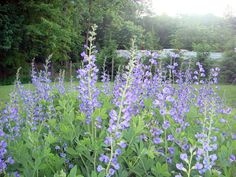 If you're looking for a striking perennial that needs minimum care to produce maximum results, take a good look at Baptisia plants. Find out how to grow and care for false indigo flowers in this article.