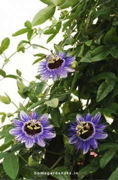 Top 10 Pergola Plants to Grow in your Pots Passion flowers or vine is a flowering plant in the family of Passifloraceae. Most of these species are found in South America, Asia, California, New Zealand and Australia. Plant can grow to a maximum height of 20 feet. It also needs full sun and well drained soil to grow vigorously.