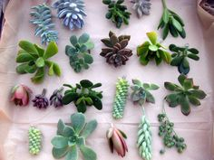 tie tags with names to these for place cards, ppl pick up and take to their seat 100 Individual unrooted SUCCULENT CUTTINGS, great variety & color.