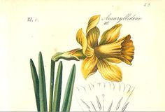 Antique Botanical Print of a Narcissus Published in the 1880s