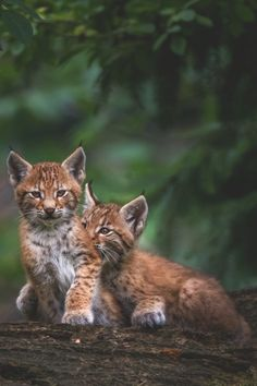 lmmortalgod:  Lynx Puppies