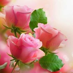 Simply Lovely Pink Roses