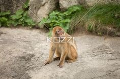 macaque sitting on pavement - Macaque sitting on a pavement with head turned to left.