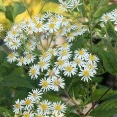 Aster Aster divaricatus 'Beth Chattoo' - Kwekersvergelijk Aster, Plants, Plant, Planting, Planets