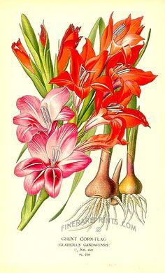 Antique print: picture of Ghent Cornflag (Gladiolus gandavensis) - Europe