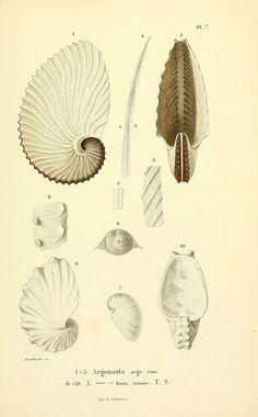 ooksaidthelibrarian:  n18_w1150 by BioDivLibrary on Flickr. Via Flickr: Mollusques vivants et fossiles. Atlas. Paris :Gide et Cie., éditeurs...