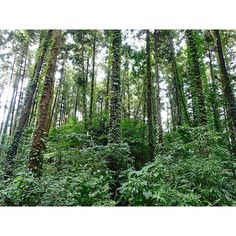 【n_kog】さんのInstagramをピンしています。 《スギとツタの戦い 撮影場所:白井市神々廻(ししば)地区 撮影日:9月25日 この風景も神々廻地区で撮影。 スギの幹を今にも覆いつくそうとするような勢いでツタが這い上る。 植物同士の競争も激しい・・・・。 #スギ  #ツタ #杉 #蔦 #植物 #生存競争 #樹木 #木 #樹 #ツタ植物 #cedar #japanesecedar #ivy #白井市 #白井 #shiroishi #千葉県 #千葉 #chiba #japan #日本 #tg4 #olympus #スギの木 #杉の木 #木と蔦 #森 #森林》