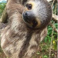 Happy sloth Sunday. Enjoy the day and rest up for the week. Safe travels 😀😀 💘 Follow @sloth._.lover_ for more 😉 Comment below if You like… Pictures Of Sloths, Cute Sloth Pictures, Sloth Photos, Animal Pictures, Cute Baby Sloths, Cute Baby Animals, Animals And Pets, Funny Animals, Baby Otters