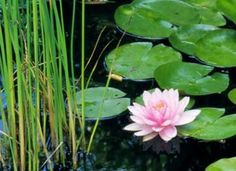 The water lily emerges as the undisputed star of home water gardening. Learn how to grow water lilies of your own!