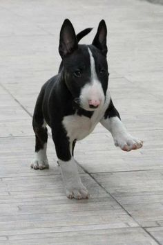 Bull Terrier pup. Don't see them much but would love one!