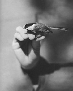 "artemisdreaming: ""Victor Schrager, Bird Hand Book HERE "" Hand Photography, Portrait Photography, Black White Photos, Black And White, Black Capped Chickadee, Man And Dog, All Birds, Old Photos, Animals"