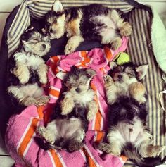 Oh my goodness, Yorkie love. Someday Fendi will have puppies!