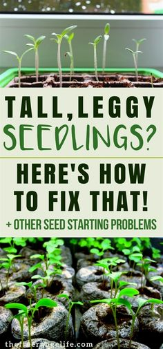 Having trouble starting seeds for your vegetable garden? Here's how to fix 4 common seed starting problems!   Vegetable Gardening   Organic Gardening   Homesteading   Gardening Tips #organicgardeningtips #GardeningTips