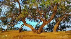 Experiencia #experience     #tree #wood #green #desert #sad #hot #interpreter #loneliness #travelling #travel #travelphoto #myphotography #mytravelgram #egypt #egipto #sharm