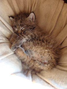 Snoozing Bobcat Kitten http://i.imgur.com/bP3pMRT.jpg