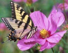 Image from http://www.nickisgarden.com/images/butterflyonpinkflower.jpg.