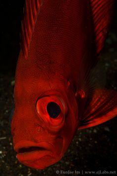 Bloch's Bigeye | by Eunjae Underwater Photography