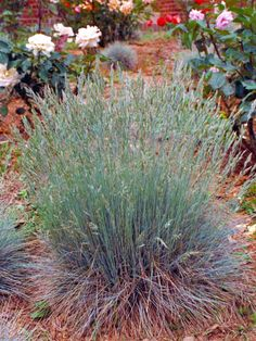 This cool season grass has attractive blue foliage.   Elymus arenarius  Perennial, cool season grass with blue foliage  Plant in organic soil; tolerant of wet and dry soil  Plant in full sun; prune while dormant in winter  Can spread invasively by rhizomes  Height: 3-4 feet  Width: 3-4 feet, spreading  Hardy in USDA zones 4-10:  Zone 4: Plant in spring to avoid winter heaving; plant in full sun; mulch after first hard frost; avoid contact with salt; fertilize in spring wit...