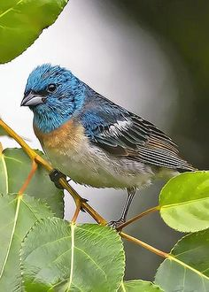 In early summer there are lot of these pretty birds around Theodore Roosevelt SP in North Dakota. Lazuli Bunting by Sharon Talson