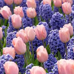 Pastel pink tulips bloom with blue hyacinths. Precious flowers brings joy just like the Stork! Pink Tulips, Tulips Flowers, Exotic Flowers, Colorful Flowers, Spring Flowers, Beautiful Flowers, Cactus Flower, Yellow Roses, Purple Flowers