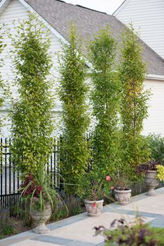 You Need Gardening Insurance For Anyone Who Is A Managing A Gardening Organization Columnar Hornbeam Tree Design Ideas, Pictures, Remodel And Decor Privacy Trees, Privacy Plants, Garden Privacy, Backyard Privacy, Privacy Hedge, Garden Bed, Landscaping Along Fence, Backyard Pool Landscaping, Backyard Pool Designs