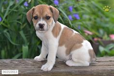 Beabull Puppies beabull puppy for sale beabull pinterest puppies for ...