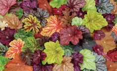 Garden Musings from Memphis Area Master Gardeners: Heuchera Mania Nice colors; hardy in zone 5.